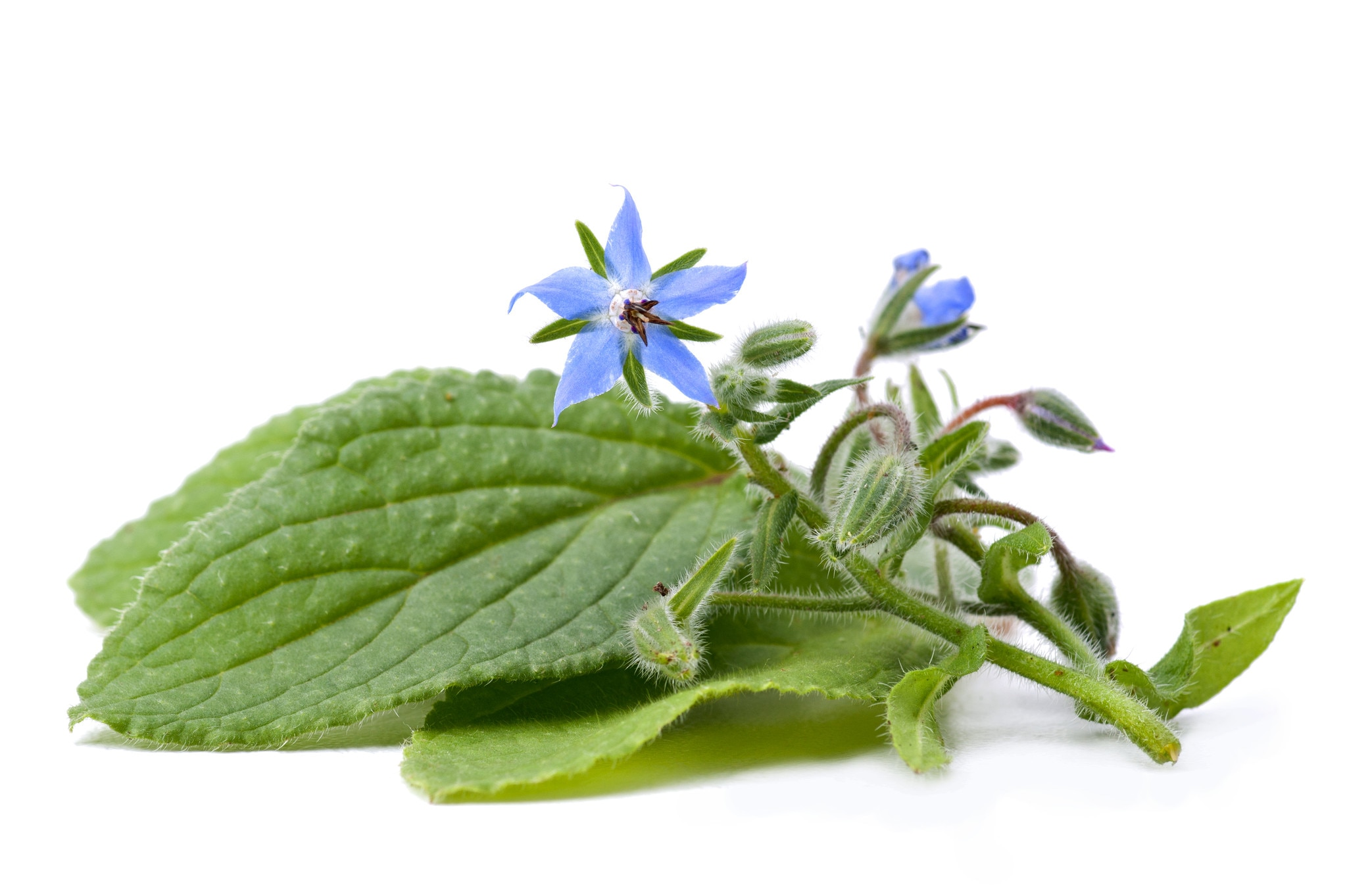 Owing to our rich experience in this domain we are able to offer premium quality Borage Oil that is ideal for both dietary and cosmetic applications. The given borage oils are obtainable in numerous packaging options as per the need of the customers. These borage oils are finely processed using premium quality natural ingredients keeping in mind the set standard of market. Our borage oils are provided in bulk quantity within the stipulated time frame.  Features:  Accurate composition Ideal for both dietary and cosmetic applications Refreshing aroma  Description:  Borage is amongst the richest source of essential fatty acid known to man. The oil rich seed is pressed and extracted using traditional techniques, the crude oil obtained is then refined to yield a pale yellow, low odor product. It is ideal for both dietary and cosmetic applications. Borage carrier oil is well known as being the richest commercial plant source of gla, an omega 6 fatty acid which is a key building brick' in production of the body's regulatory hormones.  Common names:  Borage, star flower  Blends with:  Borage carrier oil blends well with all the essential oils.  Constituents:  Docosenoic- 2.5% icosenoic- 4.2% gamma linolenic- 20.5% linoleic- 40.6% oleic- 16.8% palmitic- 10.9%  Uses:  Small amounts (10% or less) of borage is often added to other carrier oils for fortification. It is applicable for all skin types and is commonly used in manufacturing, aromatherapy applications and by massage therapists.  Specifications: Botonical NameBorago Officinalis CAS8024-32-6 Country of OriginChina Color & OdorPale yellow to golden yellow liquid with Characteristic odor SolubilitySoluble in alcohol and oils. Insoluble in water Specific Gravity0.92 Optical RotationN/A Refractive Index1.470- 1.480 Flash Point>100 °C Extraction MethodCold-pressed of the seeds/kernels