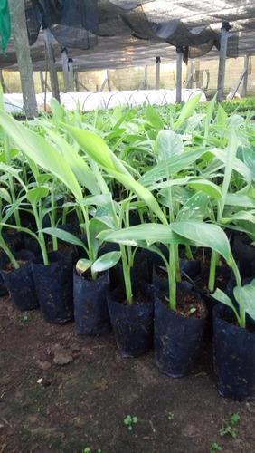 Yelakki Banana Tissue Culture Plant