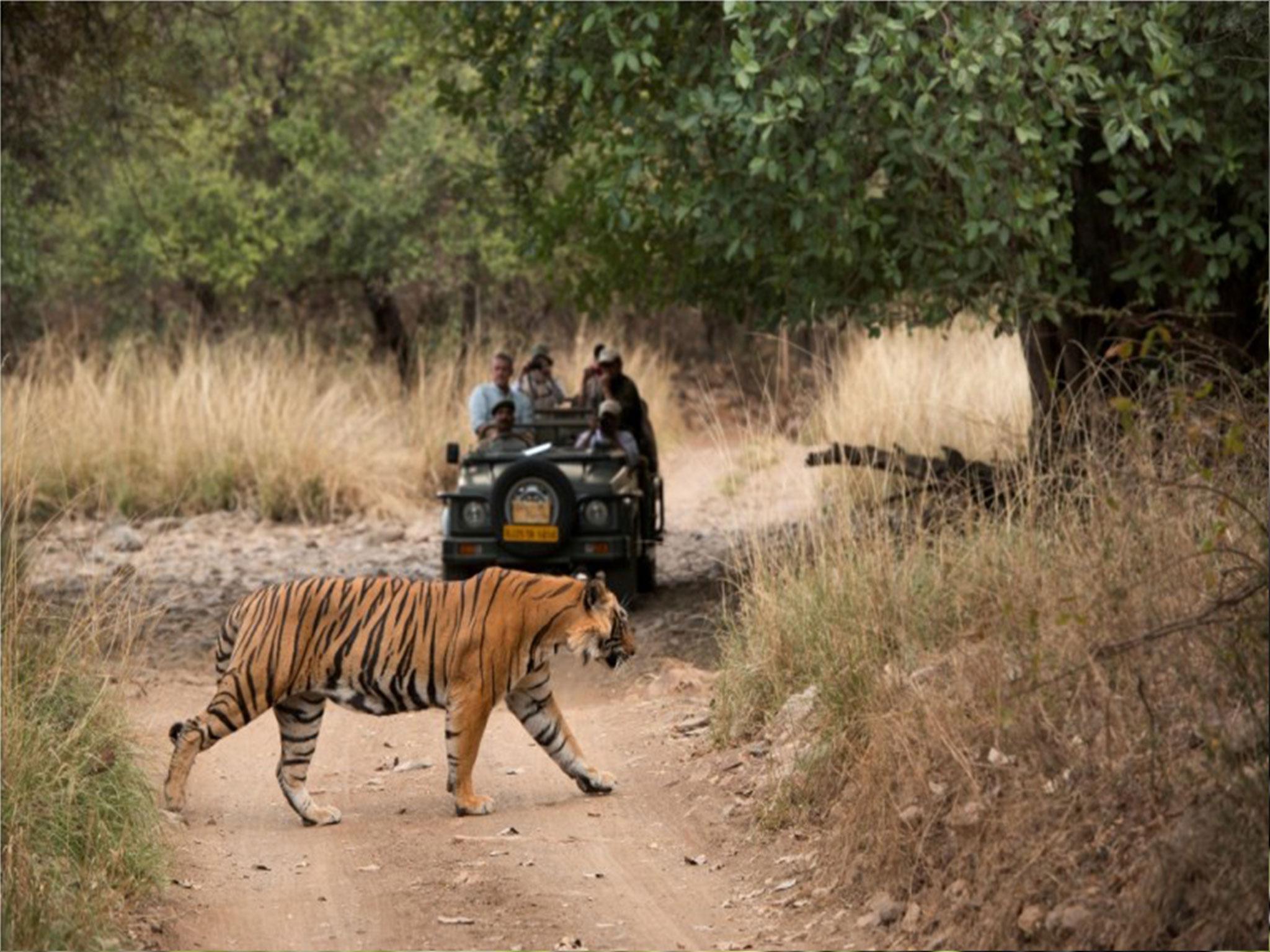 Bandhavgarh Tiger Sa