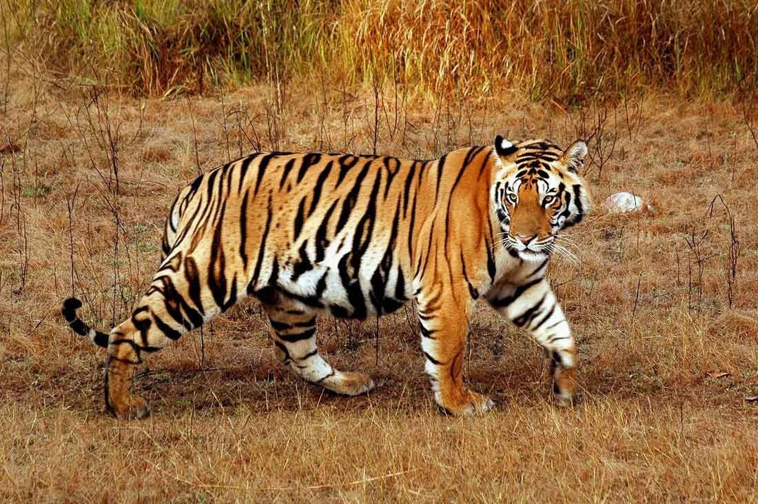 Tiger Trail in India