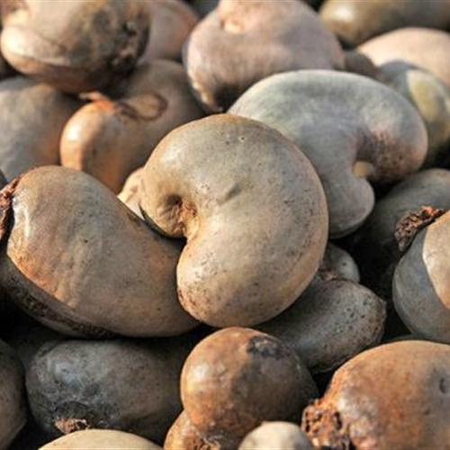 we are a manufaturer supplier wholeseller in Raw Cashew Nuts in india
