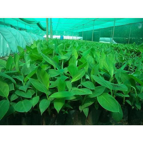 TC Banana Plants, TC