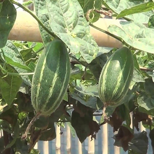 TC Pointed Gourd Pla
