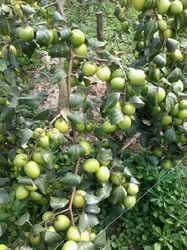 Apple Ber Plant is a