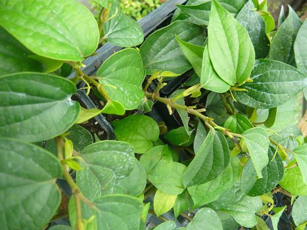 Piper Nigra plant
