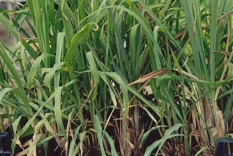 Lemongrass Essential oil manufacturer in India